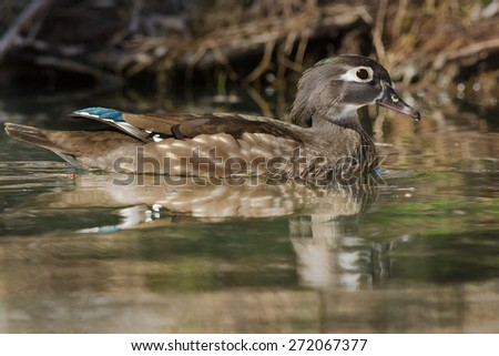 Female Wood Duck swimming at the edge of the pond. - stock photo