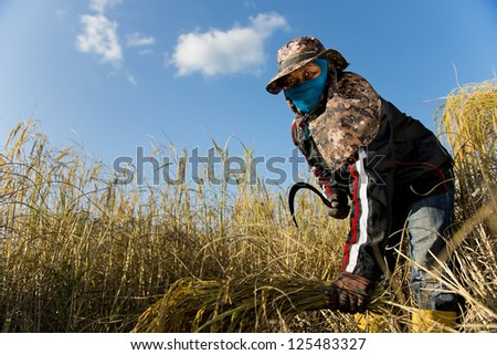 female worker harvesting rice - stock photo