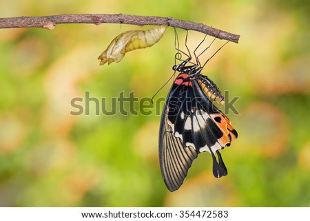Female yellow body Great mormon Butterfly resting on twig after emerged from cocoon - stock photo