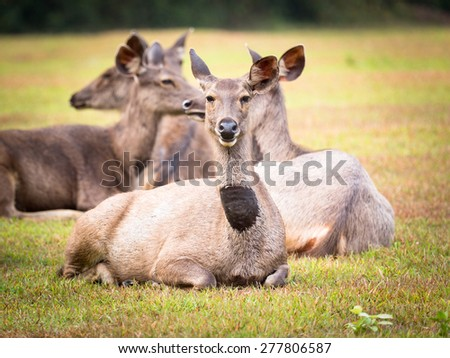 Females of the Sambar deers.  - stock photo