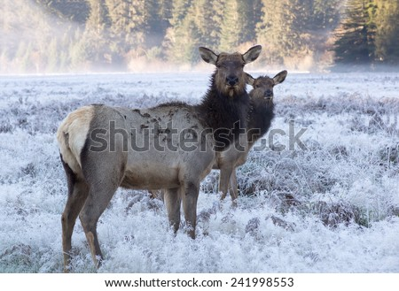 Females Roosevelt elk standing in a field in the early morning. Rain Forest California, USA - stock photo
