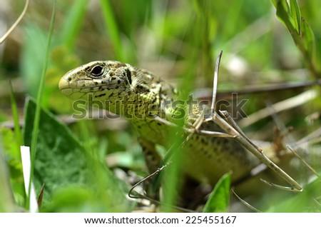 fence lizard - stock photo