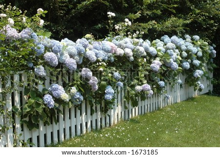 Fence of Hydrangeas - stock photo