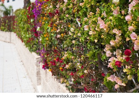 Fence of multicolored flowers bougainvillea. Shallow depth of field. Focus on the front flowers - stock photo