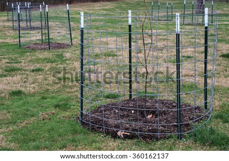 Fence surrounds young seedling Chestnut Trees. The American Chestnut Trees resistant to blight were planted at Abraham Lincoln Birthplace National Historical Park. - stock photo