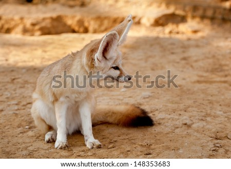 Fennec fox - stock photo