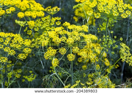 fennel bloom in mid-summer - stock photo
