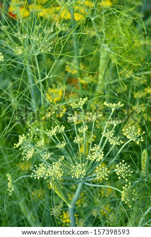 Fennel - Foeniculum vulgare - stock photo