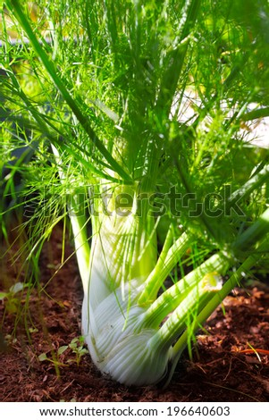 Fennel growing in the flowerbed  - stock photo