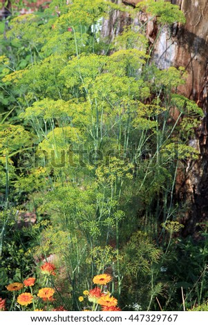 Fennel in the country, rustic home garden. Herbs. - stock photo