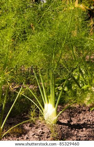 fennel plant - stock photo