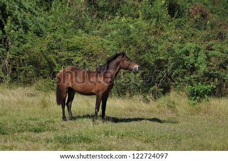 Feral bay horse standing at alert against green vegetation of Vieques, Puerto Rico - stock photo