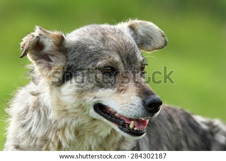 feral grey dog portrait over green out of focus background - stock photo