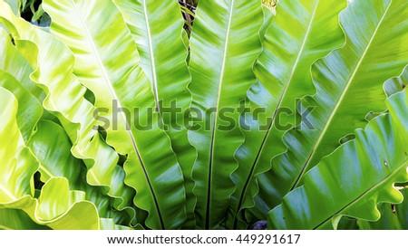 fern Asplenium nidus natural plant tropical  - stock photo