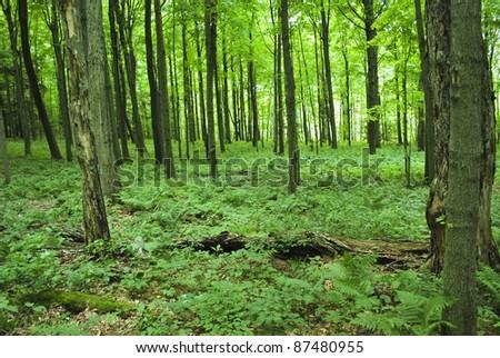 Fern-covered lush woods - stock photo