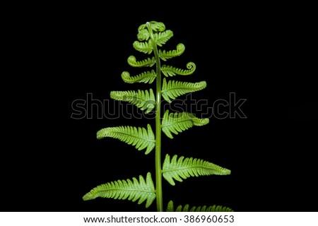 Fern foliage in black background using flash - stock photo