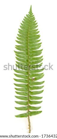 Fern Leaf isolated - stock photo