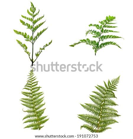 Fern leaves isolated on white background. - stock photo