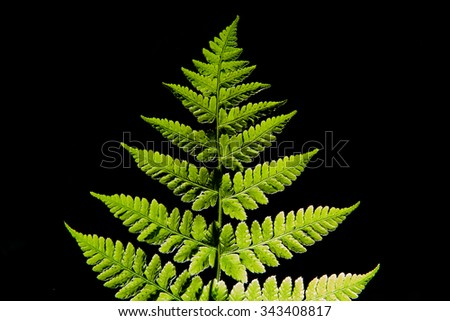 Fern leaves on a black background. - stock photo