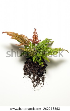 Fern Plant with Roots - stock photo
