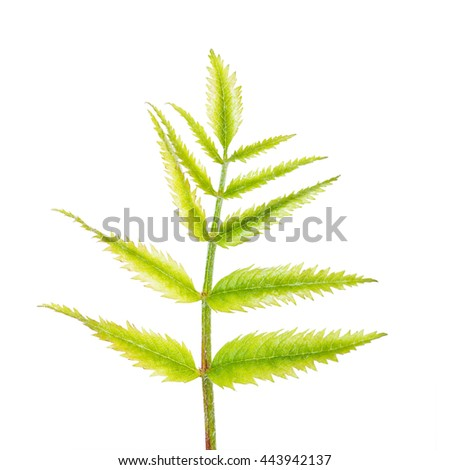 Fern Sprout Isolated on White - stock photo