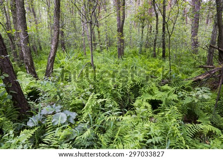 Ferns and trees in the forest in Polesie National Park, Poland. - stock photo