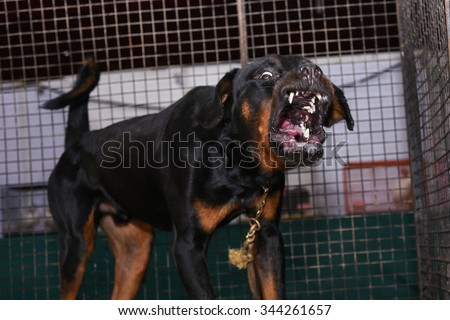 Ferocious barking dog Rottweiler portrait inside a kennel, danger dog in India. a medium/large size breed of domestic dog. The dogs were known as Rottweil butchers dogs German: Rottweiler Metzgerhund - stock photo
