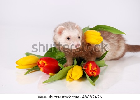 Ferret and tulip flower - stock photo