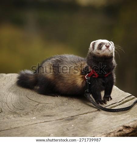 Ferret female on leash posing on bole in park - stock photo