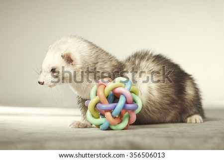 Ferret female with toy - stock photo
