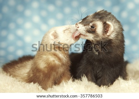 Ferret friends kisses - stock photo