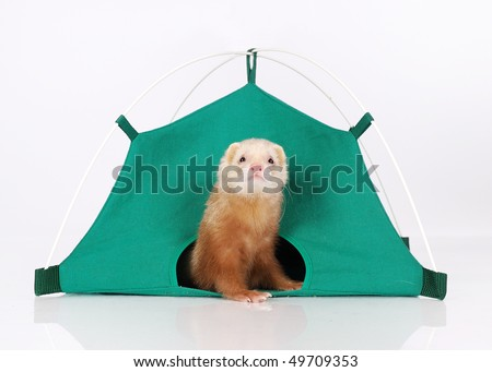 Ferret in tent - stock photo