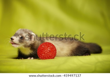 Ferret laying with red ball in studio - stock photo