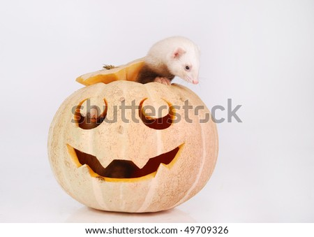 Ferret looks out of a halloween pumpkin - stock photo