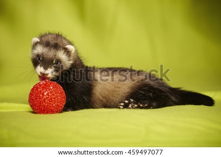 Ferret playing with red ball in studio - stock photo