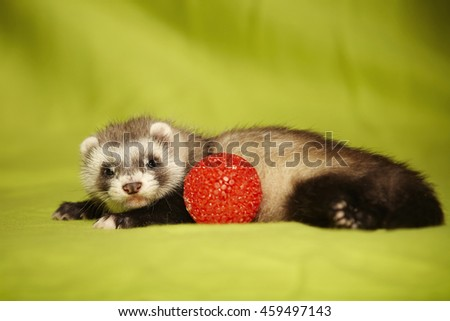 Ferret puppy with plastic red ball in studio - stock photo