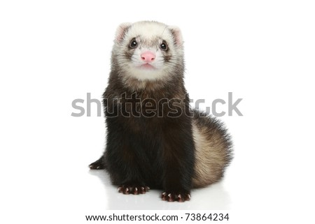 Ferret sits on a white background - stock photo