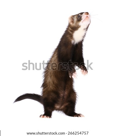 Ferret Standing Up - stock photo