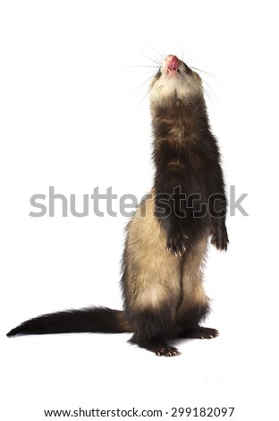 Ferret stands on two legs isolated on white background - stock photo