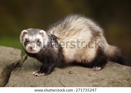 Ferret young male in park - stock photo