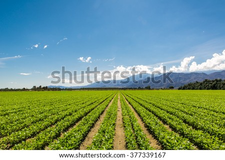 Fertile Agricultural Field of Organic Crops in California Organic Crops Grow on Fertile Farm Field in California. Vegetables in a row, clear skies and mountains in the background.  - stock photo