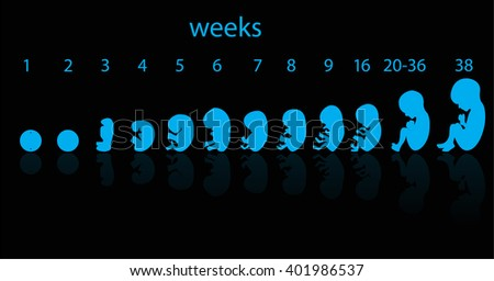 fetus stages  - stock photo