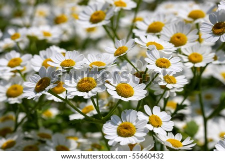 Feverfew Flower - stock photo
