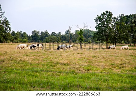 Few black and white cows eating on meadow - stock photo
