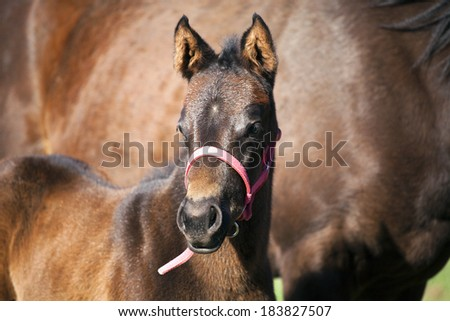Few days old full-blooded colt with mother   - stock photo