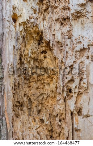Few insects actually damage dry wood. Termites, both subterranean termites and drywood termites, carpenter ants and certain powderpost beetles are the primary wood destroying insects. - stock photo