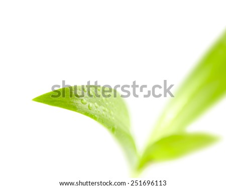 Few leaves a plant with drops of dew isolated on white background - stock photo