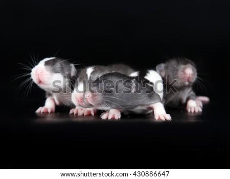 Few newborn rats isolated on black - stock photo