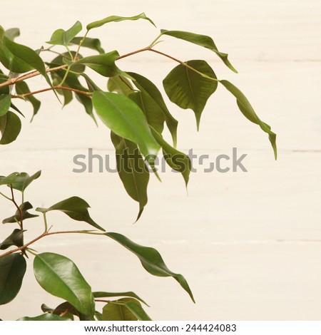 Ficus benjamin, Ficus benjamin plant against white wooden background - stock photo