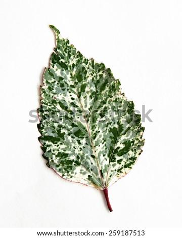 Ficus Benjamin Leaf - stock photo